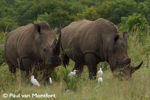 Neushoorn-Zuid-Afrika
